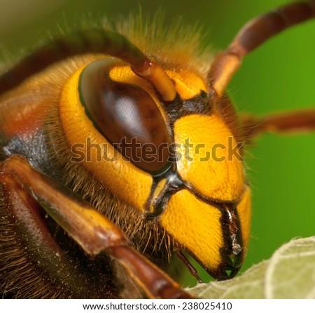 portrait of a hornet, soft focus, shallow dof - stock photo