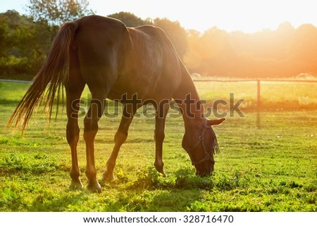 Portrait of a horse grazing in the sun backlight - stock photo