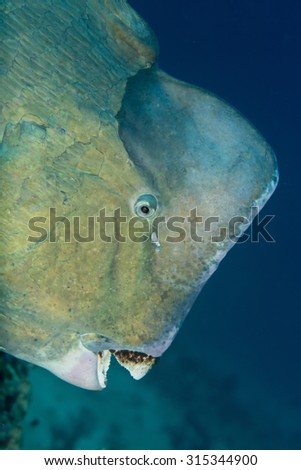 Portrait of a huge bumphead parrotfish (Green humphead parrotfish) staring at camera at Tulamben near shipwreck with blue sky background, looking at camera showing dirty teeth