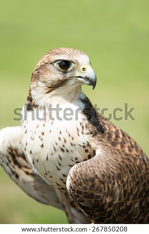 Portrait of a hunting falcon (Falco rusticolus) - stock photo
