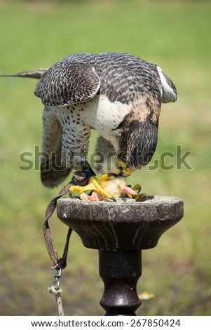 Portrait of a hunting falcon (Falco rusticolus) during feeding - stock photo