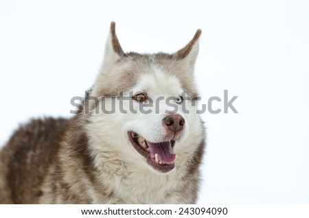 Portrait of a Husky with two different eye colors