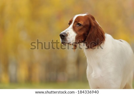 Portrait of a irish red and white setter, horizontal - stock photo