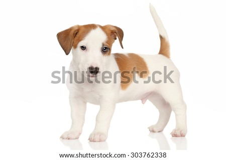 Portrait of a Jack Russell puppy in front of white background