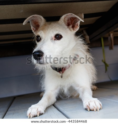 Portrait of a Jack Russell terrier in a home setting.