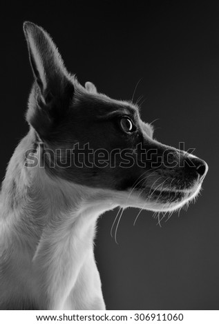 Portrait of a Jack Russell Terrier in black and white - stock photo