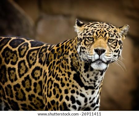 Portrait of a Jaguar - stock photo
