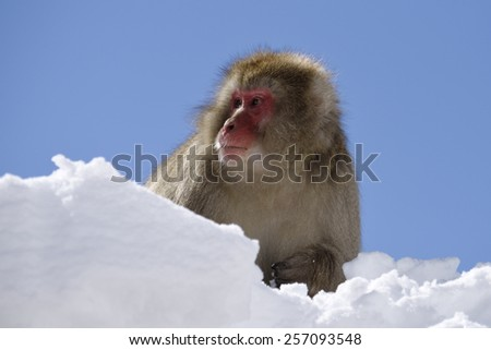 Portrait of a japanese macaque  - stock photo