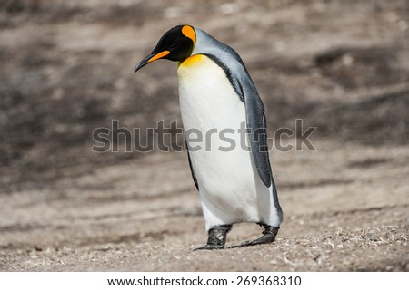 Portrait of a king penguin in Antarctica - stock photo