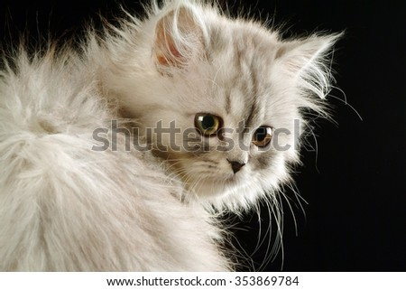 Portrait of a kitten close-up in studio