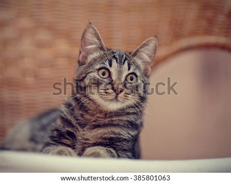 Portrait of a kitten of a striped color with yellow eyes on a wicker chair