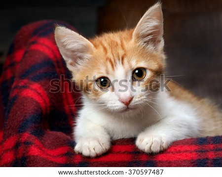 Portrait of a kitten with amazing yellow eyes. The kitten is small, white and red. Cat large yellow eyes and big ears. Portrait of a big cat on a background of red plaid