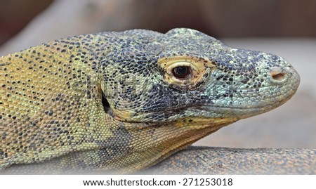 Portrait of a Komodo Dragon, the largest lizard in the world