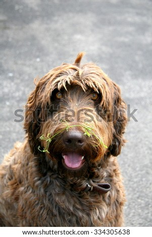 Portrait of a labradoodle - stock photo
