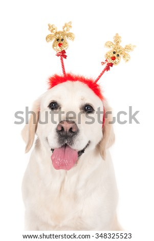 Portrait of a Labrador dog with Christmas attribute against a white background. Vertical studio image.