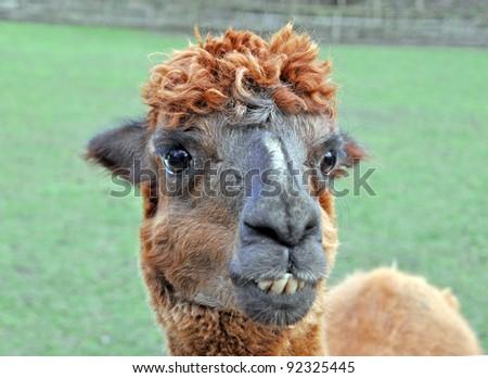 Portrait of a lama on farm - stock photo