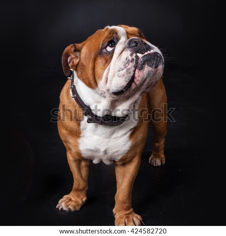 Portrait of a large and beautiful English Bulldog breed dog looking straight forward into the camera - stock photo