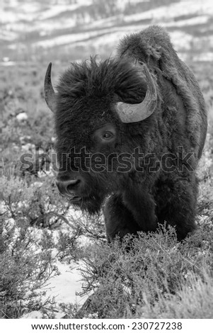 Portrait of a large bison in black and white in Yellowstone National Park - stock photo