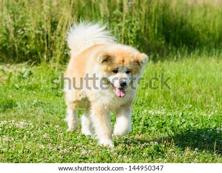 portrait of a large Japanese dog Akita Inu
