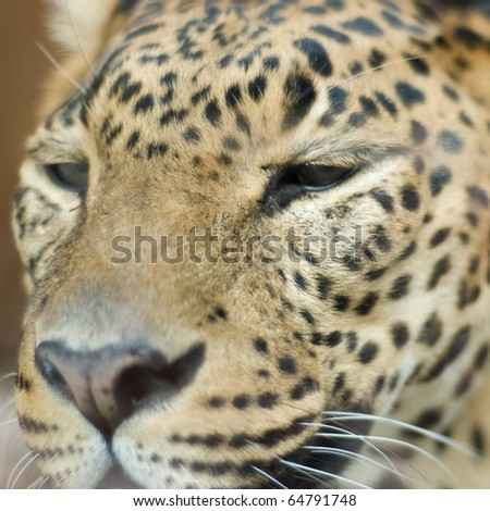portrait of a leopard
