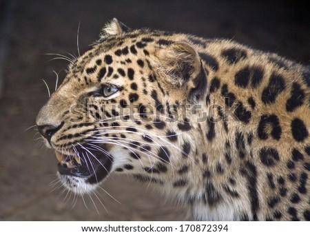 portrait of a leopard in profile - stock photo
