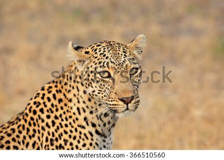 Portrait of a leopard (Panthera pardus), Sabie-Sand nature reserve, South Africa - stock photo