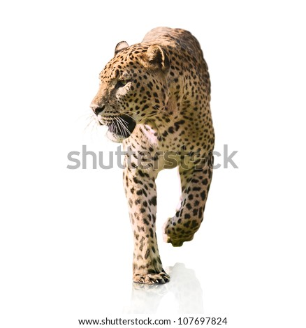Portrait Of A Leopard Walking On White Background - stock photo