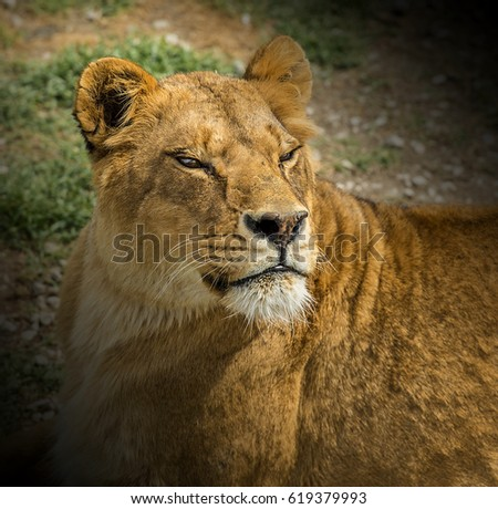 Portrait of a liness with narrowed eyes in safari park