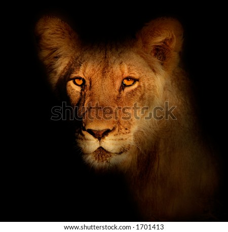 Portrait of a lion (Panthera leo) with black background and intense eyes