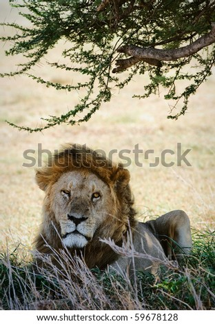 Portrait of a lion. The lonely lion hides in a shade of an acacia from the midday sun - stock photo