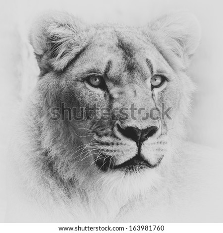 Portrait of a lioness - stock photo