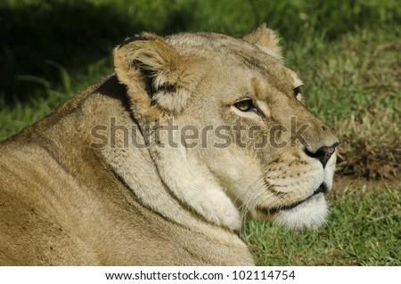 Portrait of a Lioness head. - stock photo