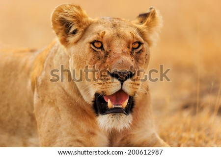 Portrait of a Lioness in the dry grass and hot sun of Masai Mara, Kenya