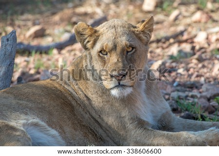 Portrait of a lioness looking directly at the camera