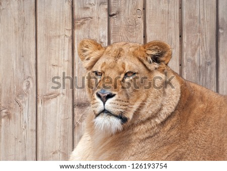 Portrait of a lioness (P. Leo)