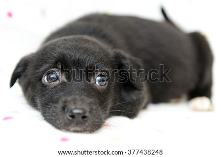 portrait of a little black puppy close-up