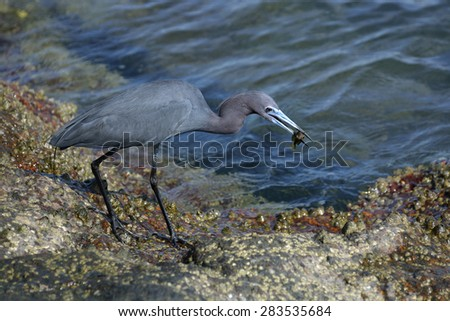 Portrait of a Little Blue Heron With a Small Fish in His Beak, Walking Along a Barnacle-Covered Boulder Next to Blue Sea Water - stock photo