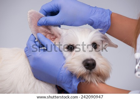 Portrait of a little bundle of cuteness. Closeup of a vet examining ears of a terrier dog while standing against grey background