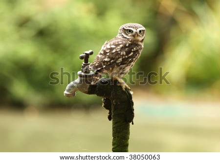 Portrait of a Little Owl perched on an old tap - stock photo