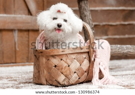 Portrait of a little white dog on the porch - stock photo