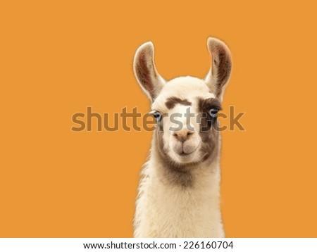 Portrait of a llama isolated on orange - stock photo