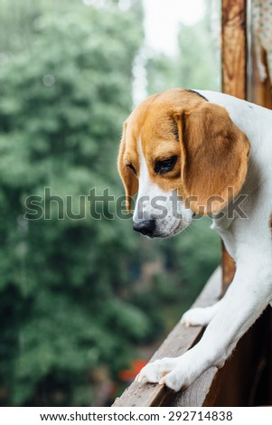 portrait of a lonely beautiful adorable and cute beagle puppy dog laying on the white bad with white background - stock photo