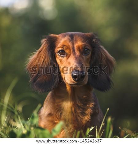 Portrait of a long haired dachshund in a grass