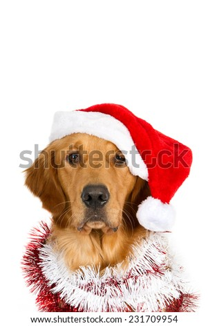Portrait of a looking golden retriever with Santa hat and Christmas garlands. Isolated on white with room for text.