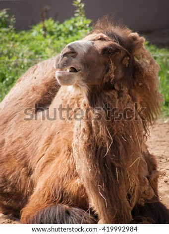 Portrait of a majestic brown camel with a look of contempt of its face lying on the ground