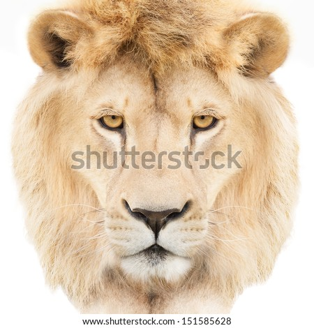 Portrait of a majestic lion crowned with golden mane, isolated on white background. - stock photo