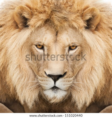 Portrait of a majestic lion crowned with mane.
