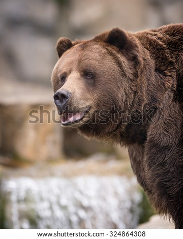 Portrait of a male Alaskan Brown Bear in front of waterfall - stock photo