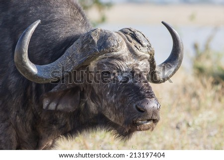 portrait of a male buffalo in the dry savanna of Savuti National Park, Botswana, Africa