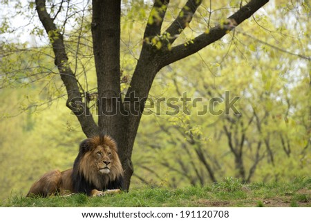portrait of a male lion on forest savana background - stock photo